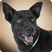 Shepherd (Unknown Type) Mix Dog for adoption in Prescott, Arizona - Kota