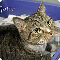 Domestic Shorthair Cat for adoption in Bradenton, Florida - Gator