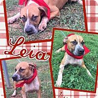Labrador Retriever Mix Dog for adoption in Lexington, North Carolina - Leia