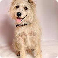 Adopt A Pet :: Daryl Schnauzer - St. Louis, MO