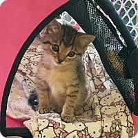 Domestic Shorthair Kitten for adoption in Austin, Texas - Thelma