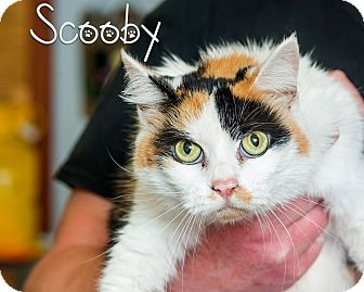Domestic Longhair Cat for adoption in Somerset, Pennsylvania - Scooby