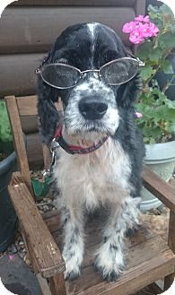 Cocker Spaniel Dog for adoption in Sugarland, Texas - Garrett