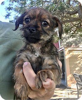 Shih Tzu Dog for adoption in Temecula, California - Mouse