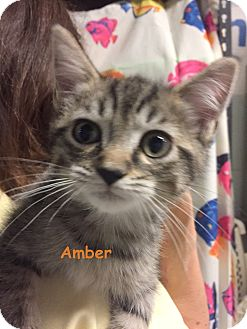 Domestic Shorthair Kitten for adoption in Cliffside Park, New Jersey - AMBER