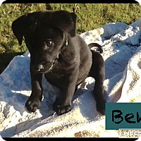 Adopt A Pet :: Puppy Ben - Brattleboro, VT