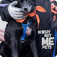 Adopt A Pet :: Thelma - Seattle, WA