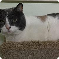 Adopt A Pet :: Callie - Encino, CA