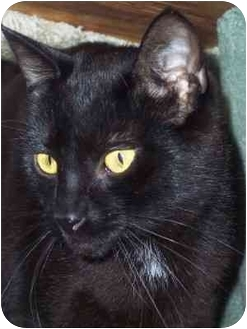 Domestic Shorthair Cat for adoption in Delmont, Pennsylvania - Tinker