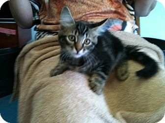 Domestic Shorthair Kitten for adoption in Phoenix, Arizona - Lucy