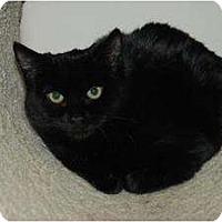 British Shorthair Cat for adoption in Auburn, California - Amanda