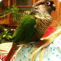 Adopt A Pet :: Jerry - Shawnee Mission, KS