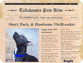 American Staffordshire Terrier Mix Dog for adoption in Tallahassee, Florida - Bogie