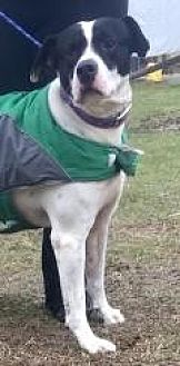 Dalmatian/Labrador Retriever Mix Dog for adoption in Summerville, South Carolina - Uno