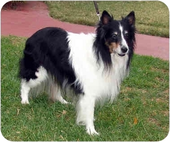 Sheltie, Shetland Sheepdog/Border Collie Mix Dog for adoption in San Diego, California - Sammy