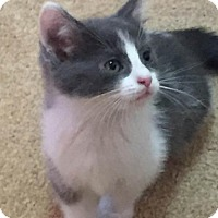 Domestic Shorthair Kitten for adoption in Grand Ledge, Michigan - Louray