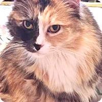 Adopt A Pet :: Silky Silly - Davis, CA