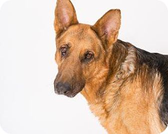 German Shepherd Dog/German Shepherd Dog Mix Dog for adoption in Los Alamos, New Mexico - Adahay - Chile