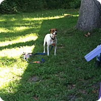 Jack Russell Terrier Mix Dog for adoption in north myrtle beach, South Carolina - Reggie