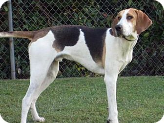Foxhound Dog for adoption in SAN PEDRO, California - Elwood