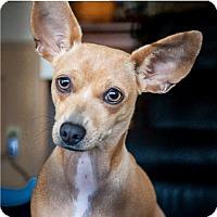 Adopt A Pet :: Ziva - Dallas, TX
