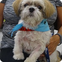 Shih Tzu Dog for adoption in Eden Prairie, Minnesota - BUDDYpending