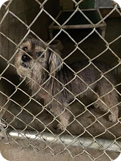 Schnauzer (Miniature) Mix Dog for adoption in Peru, Indiana - SOFIA