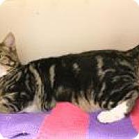Domestic Shorthair Kitten for adoption in Huachuca City, Arizona - Pete