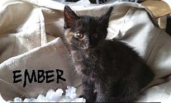 Domestic Shorthair Kitten for adoption in Richardson, Texas - Ember