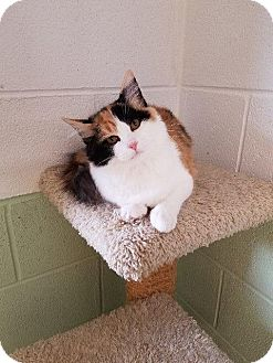Domestic Longhair Kitten for adoption in Crossville, Tennessee - Fluffy