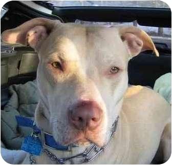 Labrador Retriever/Pit Bull Terrier Mix Dog for adoption in Forest Hills, New York - Hayden