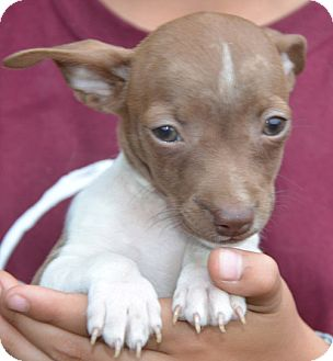 Chihuahua Mix Puppy for adoption in Spring Valley, New York - Tiny