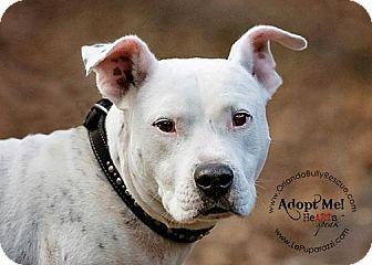 American Bulldog/Labrador Retriever Mix Dog for adoption in Orlando, Florida - Ethan