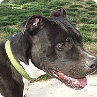 Adopt A Pet :: Bones - Phoenix, AZ