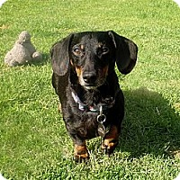 Adopt A Pet :: SHORTY - Portland, OR