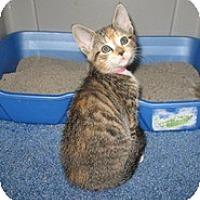 Adopt A Pet :: Artemis - Shelton, WA