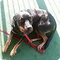 Adopt A Pet :: Penelope - Gilbert, AZ