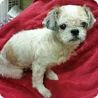 Adopt A Pet :: Cheyenne - LEXINGTON, KY