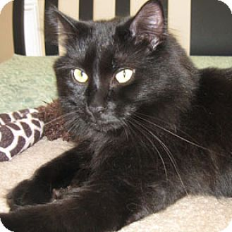 Domestic Longhair Cat for adoption in Verdun, Quebec - Alex