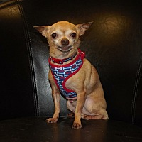 Chihuahua Dog for adoption in norridge, Illinois - Cash