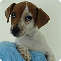 Adopt A Pet :: Pebbles - Grants Pass, OR