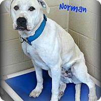 Adopt A Pet :: Norman - Benton, AR