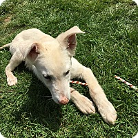 Adopt A Pet :: Cory - Tumwater, WA