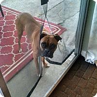 Boxer Dog for adoption in Austin, Texas - Izzy