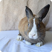 Dwarf Mix for adoption in Montclair, California - Lightning