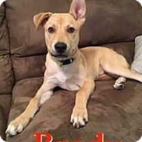 Adopt A Pet :: Brody - Tampa, FL