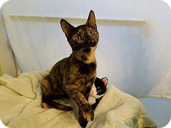 Domestic Shorthair Kitten for adoption in Alamo, California - MSF6