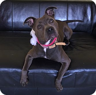 American Pit Bull Terrier Mix Dog for adoption in Philadelphia, Pennsylvania - Fiona