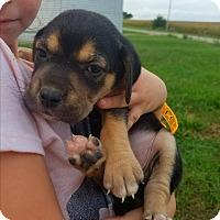 Adopt A Pet :: Fletcher - Kewanee, IL