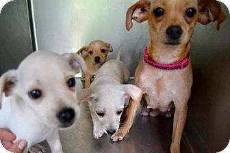 Chihuahua Mix Puppy for adoption in Alpharetta, Georgia - Melfi